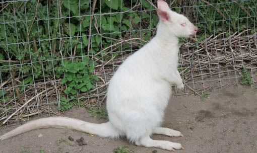 Meet the Animals - Albino Wallaby
