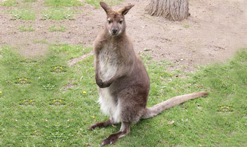 Meet the Animals - Bennet Wallaby