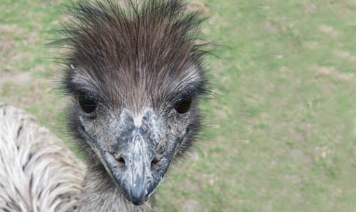 Meet the Animals - Emu
