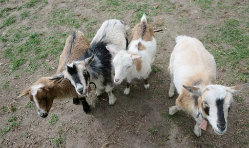 Meet the Animals - Goats