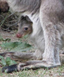 keeping and breeding kangaroos