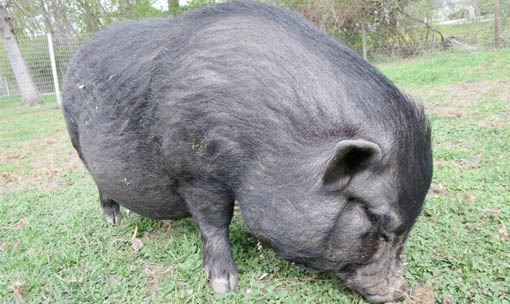 Meet the Animals - Pot-Bellied Pig