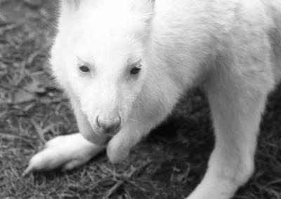 albino_roo