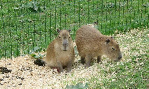 Meet the Animals - Capybara