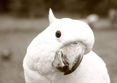 white_parrot