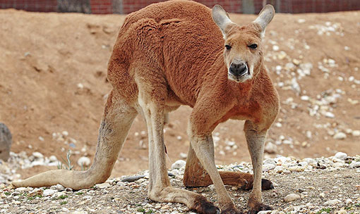 Meet the Animals - Kangaroo