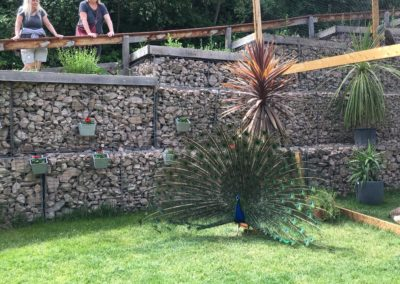 Peacock show off 2019