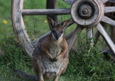 Dama Wallaby